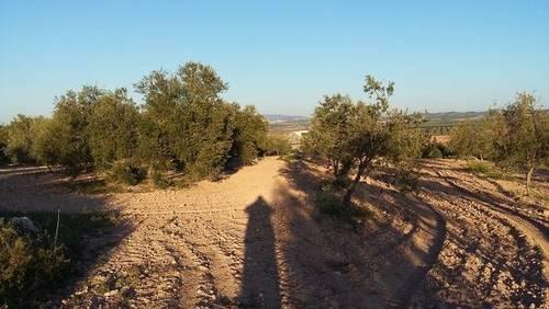 imagen 1 de Venta de finca de olivar en Osuna (Sevilla)