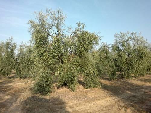 imagen 1 de Venta de finca de olivos en plena producción en Sevilla