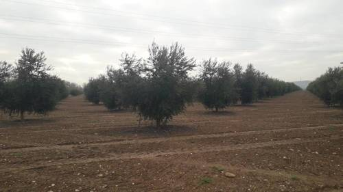 imagen 2 de Preciosa finca de olivar intensivo en Andújar