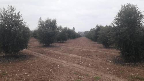 imagen 8 de Preciosa finca de olivar intensivo en Andújar