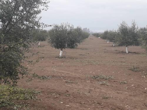 imagen 6 de Preciosa finca de olivar intensivo en Andújar