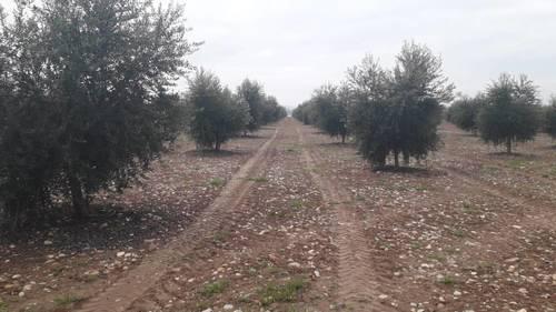 imagen 9 de Preciosa finca de olivar intensivo en Andújar