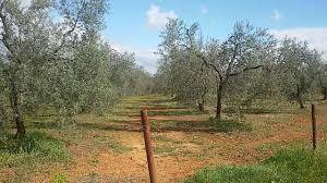 imagen 2 de Venta de finca de olivos edificable en Pilas