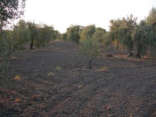 imagen 2 de Venta de olivar con buen acceso en Arahal