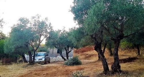 imagen 1 de Venta de olivar con casa en El Pedroso (Sevilla)
