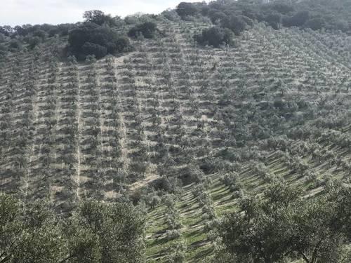 imagen 2 de Venta de finca con caserío y olivar en Osuna