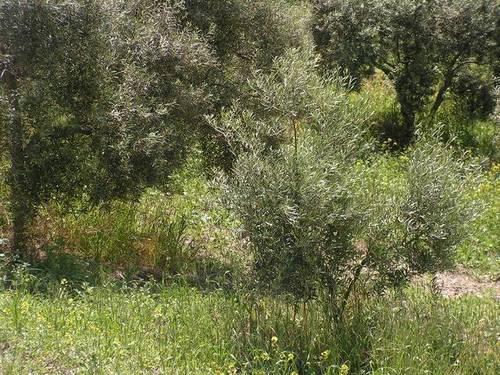 imagen 2 de Venta de finca de olivar en Pruna (Sevilla)