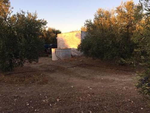 imagen 2 de Venta de olivar en Cazalla de la sierra