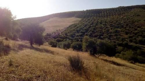 imagen 1 de Venta de Olivar en Morón de la Frontera (Sevilla)