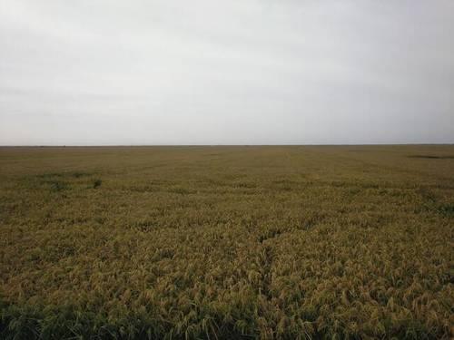 imagen 1 de Venta de plantaciones de arroz en Isla Mayor
