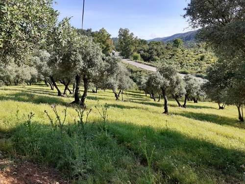 imagen 2 de Venta de olivar en El Pedroso (Sevilla)