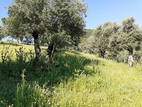 imagen 3 de Venta de olivar en El Pedroso (Sevilla)