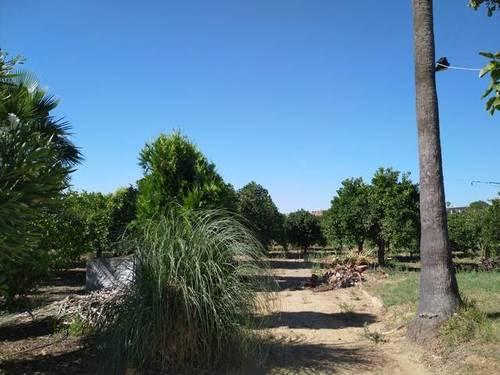 imagen 3 de Venta de parcela de naranjos con casa