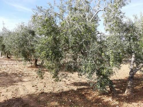 imagen 1 de Venta de finca de olivos con agua y luz en Osuna