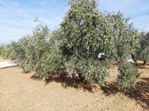 imagen 2 de Venta de finca de olivos con agua y luz en Osuna