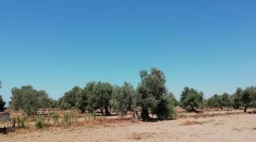 imagen 1 de Venta de olivar en Utrera (Sevilla)