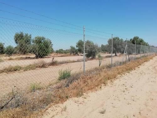 imagen 3 de Venta de olivar en Utrera (Sevilla)