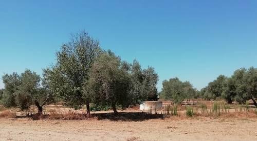 imagen 2 de Venta de olivar en Utrera (Sevilla)