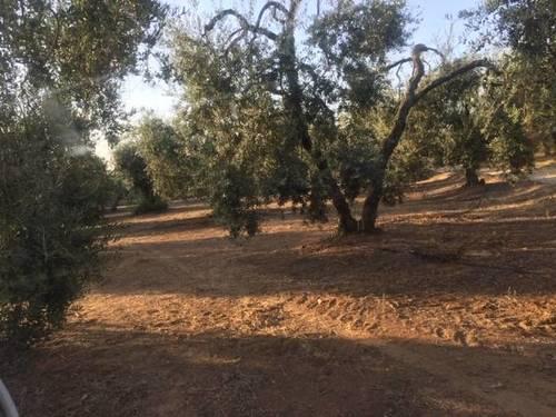 imagen 1 de Venta de finca con olivar en Pilas (Sevilla)