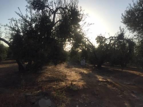 imagen 4 de Venta de finca con olivar en Pilas (Sevilla)