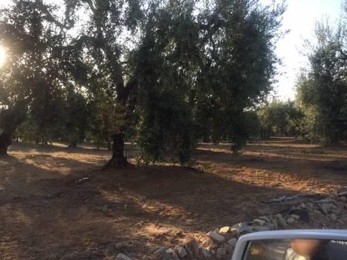 imagen 2 de Venta de finca con olivar en Pilas (Sevilla)