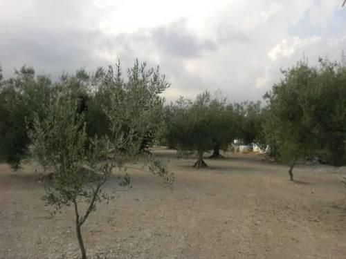 imagen 2 de Venta de finca de olivos de secano en Ulldecona