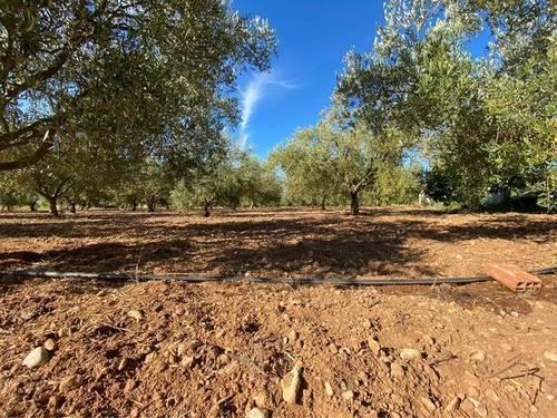imagen 1 de Venta de finca de olivos en Alcanar (Tarragona)