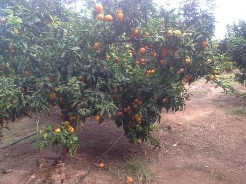 imagen 1 de Venta de finca de mandarinas en Xerta