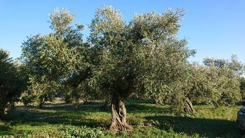 imagen 2 de Venta de finca con olivos y almendros en Montbrio del Camp