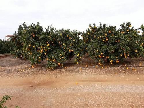 imagen 1 de Venta de finca de naranjos de regadío en Santa Bárbara