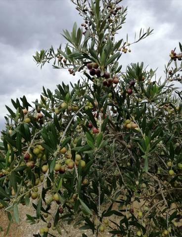 imagen 1 de Venta de olivar en ecológico en Roquetes
