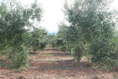 imagen 2 de Venta de bonita finca de olivos con casa Xerta