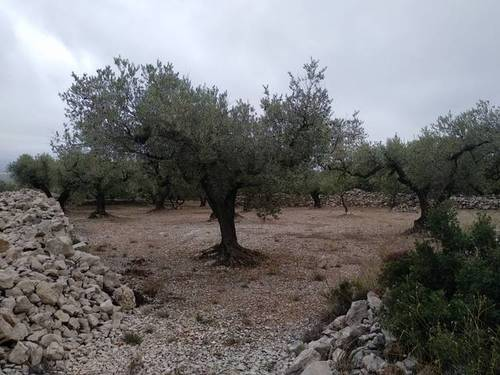 imagen 3 de Venta de finca de olivos en La Senia