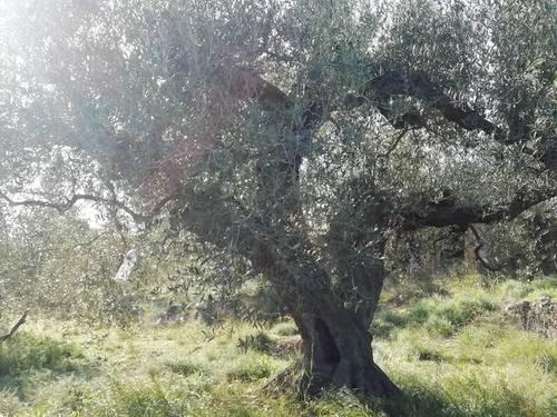 imagen 1 de Venta de terreno con olivos jóvenes en Riudecanyes