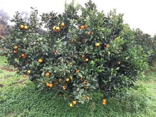 imagen 2 de Venta de terreno con frutales en Tenerife