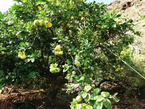 imagen 3 de Se vende finca con frutales en Buenavista del Norte (Tenerife)