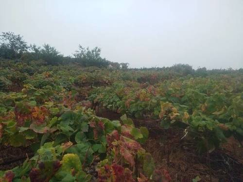 imagen 3 de Venta de finca con viñedo en Santa Úrsula (Tenerife)
