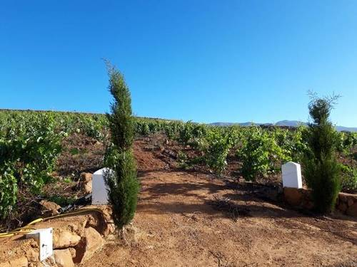 imagen 4 de Venta de finca con viñedos en Vilaflor (Tenerife)
