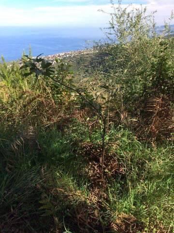 imagen 5 de Venta de terreno con frutales en La Guancha (Tenerife)