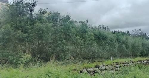 imagen 1 de Venta de parcela con olivos en ecológico en  San Andrés y Sauces (Tenerife)