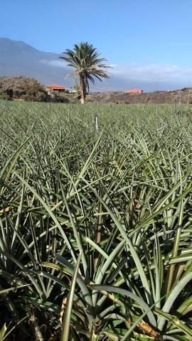 imagen 3 de Venta de finca de cultivo de piña tropical