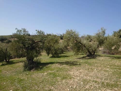 imagen 3 de Finca de olivar en Pulianas