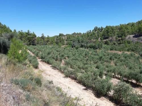 imagen 3 de Venta de finca de olivos en Torre del Compte (Teruel)
