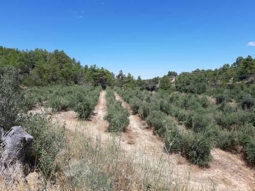imagen 5 de Venta de finca de olivos en Torre del Compte (Teruel)