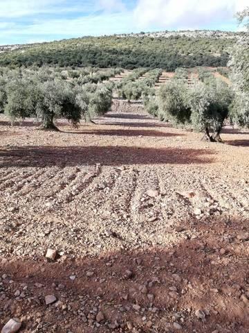 imagen 2 de Venta de terreno con olivos centenarios en Mora (Toledo)