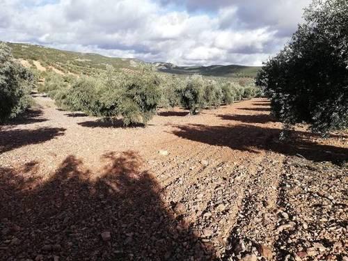 imagen 1 de Venta de terreno con olivos centenarios en Mora (Toledo)