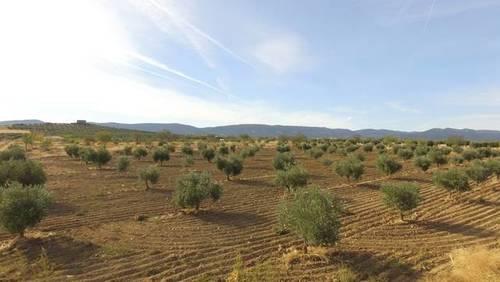 imagen 2 de Venta de olivar en Sonseca (Toledo)