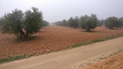 imagen 1 de Venta de olivar en Madridejos (Toledo)