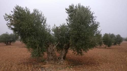 imagen 2 de Venta de olivar en Madridejos (Toledo)