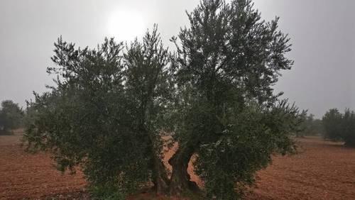 imagen 4 de Venta de olivar en Madridejos (Toledo)